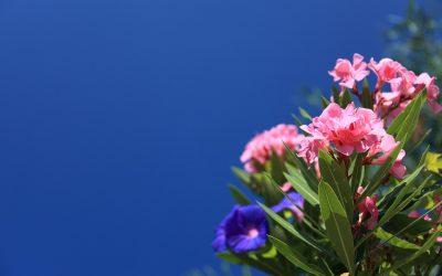 Cuando la Adelfa esta en flor, el color se convierte en el protagonista del jardín