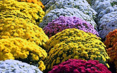 Curiosidades de los crisantemos