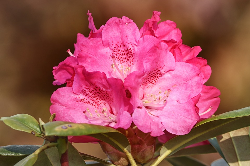 El Rododendro | Galicia