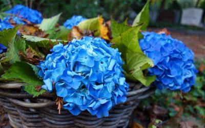 La Hortensia en el jardín