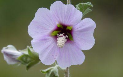 La rosa de Siria, Hibiscus Syriacus