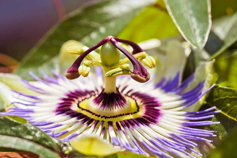 La planta o flor de la pasión