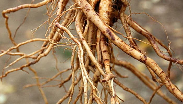 Cómo plantar árboles a raíz desnuda