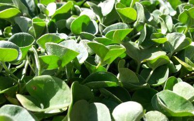 Plantas tapizantes en galicia