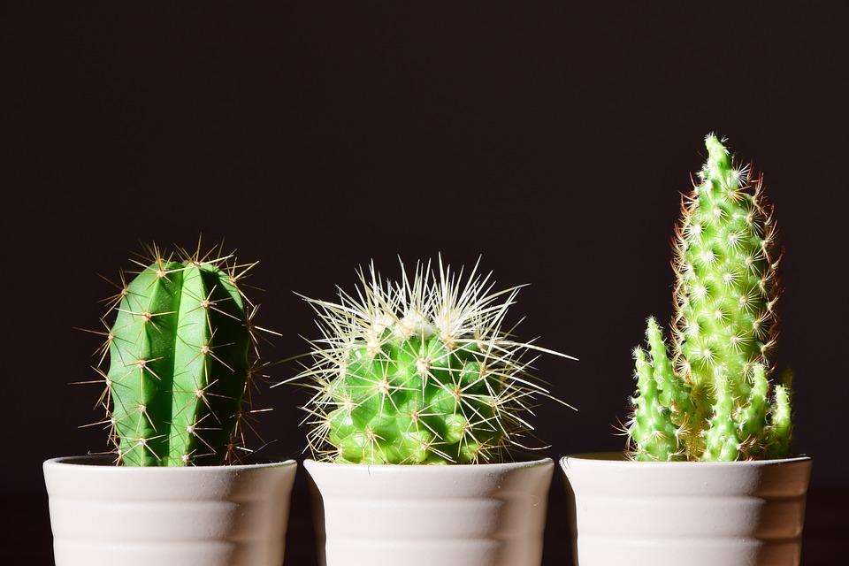 Cactus, tipos y cuidados