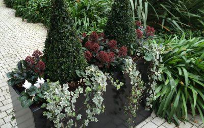 Esquimia, arbusto suelos ácidos