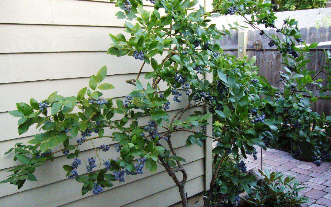 Cultivar frutos del bosque en el jardín