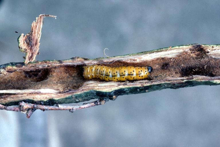 Coleópteros barrenadores, plaga