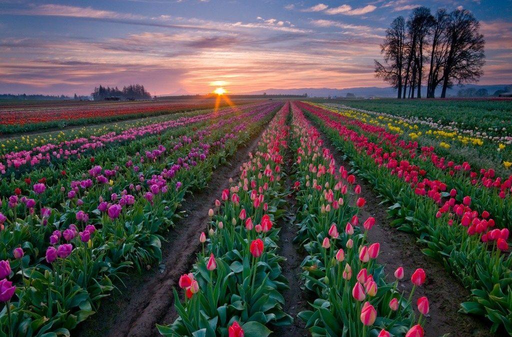 Cómo plantar bulbos de flores primaverales