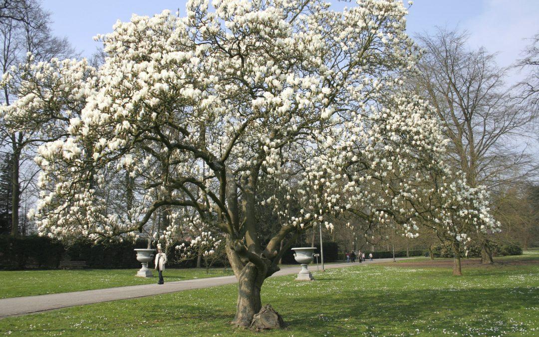 La magnolia china o magnolia caduca